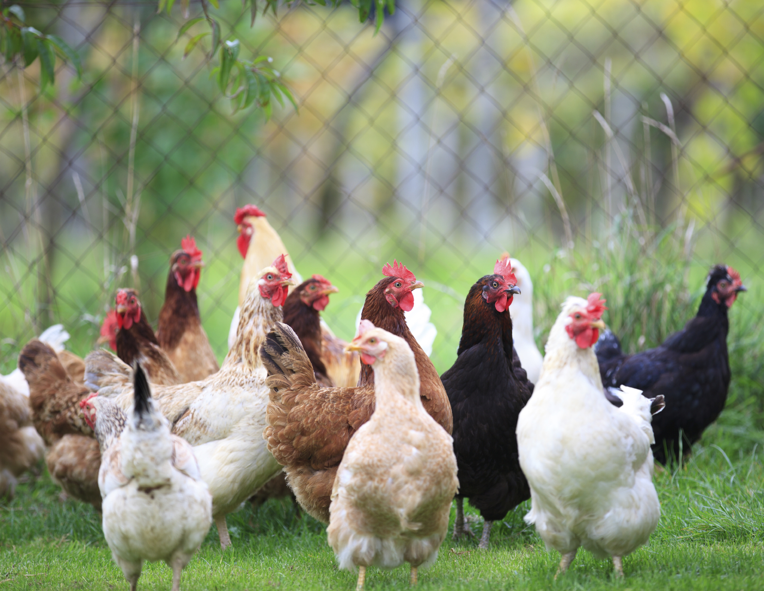 the demand for chicken a proposal Project proposal submitted to ahead by wcs the chicken population with death rates as high as who have two annual holidays when goats are in very high demand.